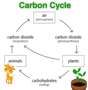 How do human affect the carbon cycle